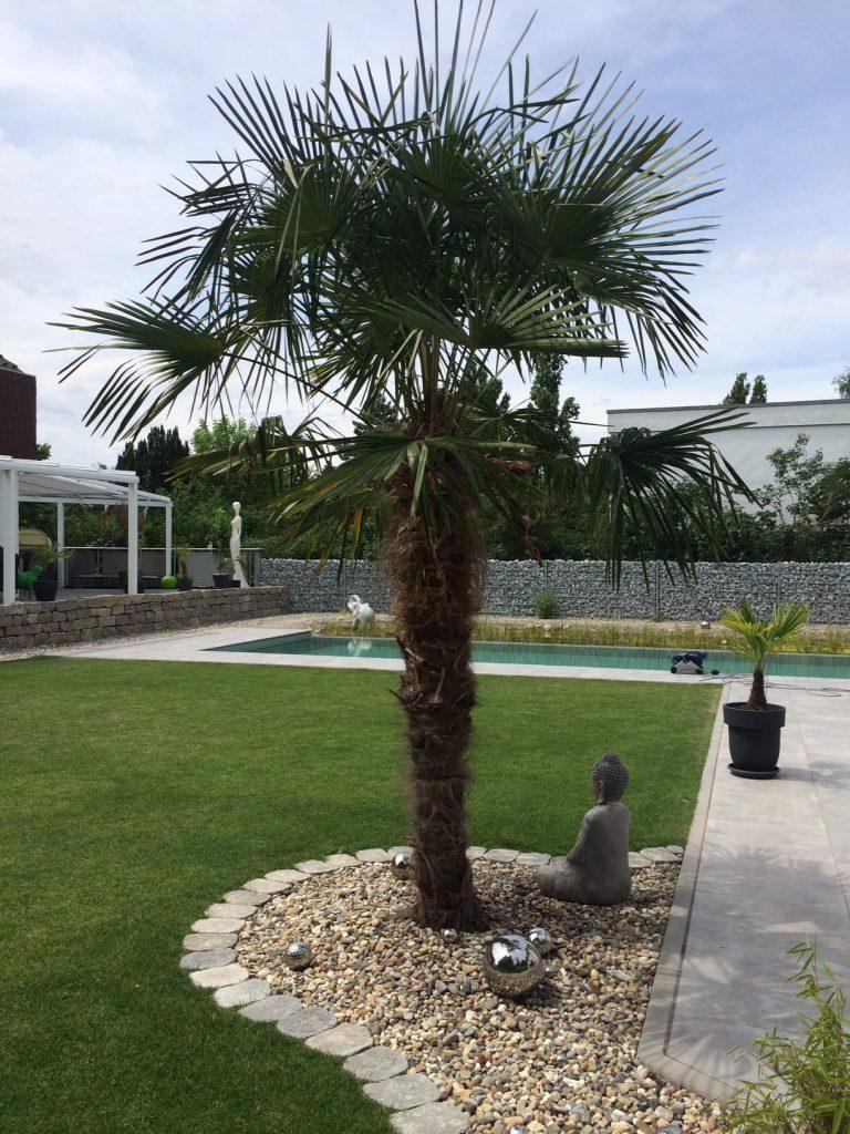 Gartenpalme
