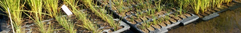 Seggen-Wasserpflanzen