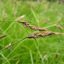 Zweizeilige Segge (Carex disticha)
