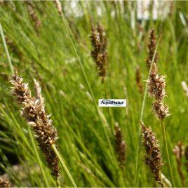 Wundersegge, Schwarzschopfsegge (Carex appropinquata)