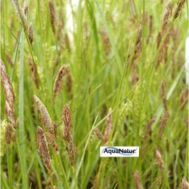 Behaarte Segge (Carex hirta)