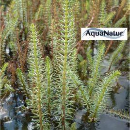 Tannenwedel (Hippuris vulgaris)