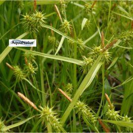 Zwerg-Segge (Zwerg-Carex)