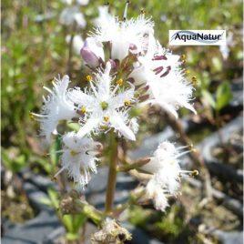 Bitterklee/Fieberklee (Menyanthes Trifoliada)