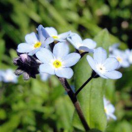 Sumpf-Vergissmeinnicht (Myosotis palustris)
