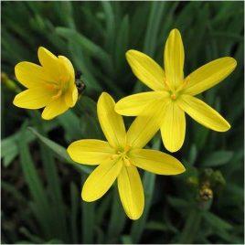 Gelbe Binsenlilie (Sisyrinchium angustifolium)
