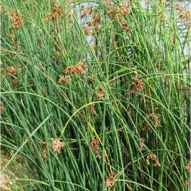 Grünse Simse (Scirpus lacustris)