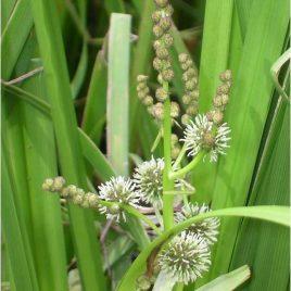 Ästiger Igelkolben (Sparganium erectum)