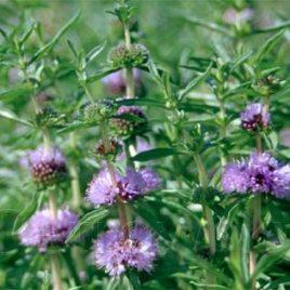 Englische Wasserminze (Preslia cervina)